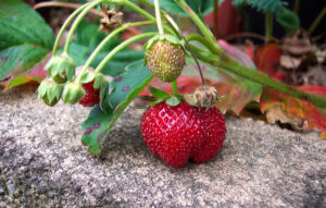 1024px-Strawberry_closeup